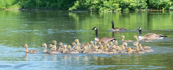 Canada geese bring their goslings together in flocks often referred to as creches.  It's like a big kindergarten with the adults sharing babysitting chores.