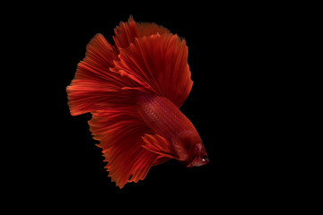 Siamese betta fish movement on black background