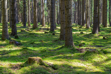 Stump green moss spruce pine coniferous tree forest park wood root bark sunlight background