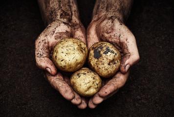 Potatoes in male hands