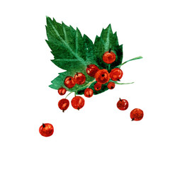 Hand drawn watercolor painting red currants on white background.  illustration of berries.