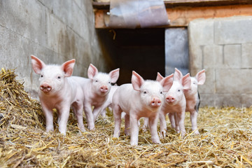 Cute - group of young piglets in straw