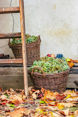 autumn fruit still life with apples, quince, grapes and leaves near the wooden ladder