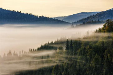 spruce forest on mountain hill side in fog on sunrise