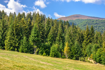 late summer mountain landscape. meadow on hill side with spruce forest under the blue sky with clouds