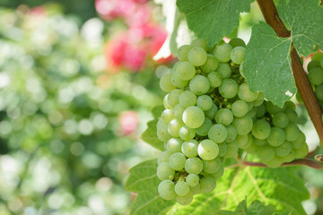 Weinreben am Weinstock