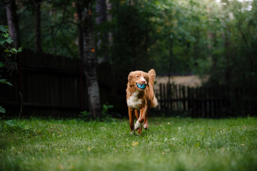 Dog Nova Scotia Duck Tolling Retriever running around the garden