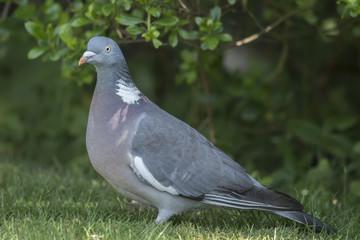 Wood pigeon, Columba palumbus, standing on the grass