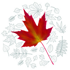 Realistic autumnal leaf of maple (sugar maple) on a background with leaves of various trees drawn by outlines. Vector illustration.