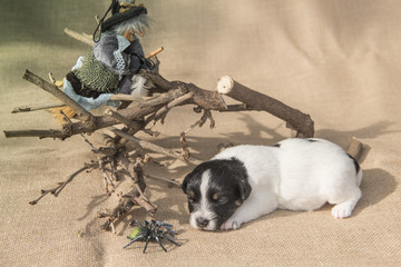 Jack Russell puppy with witch and spider - ready for halloween