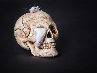 white laboratory mouse gets out of the orbit of a plastic skull