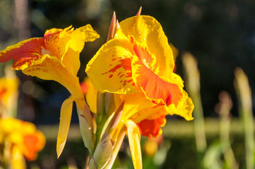 Flower Canna yellow-red