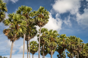 Toddy or Sugar palm tree with blue sky