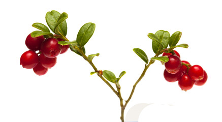 lingonberry branches isolated on white