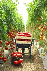 harvesting tomatoes in garden
