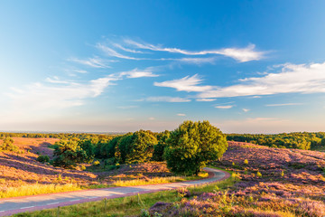 Blooming heathland with road at the Dutch Veluwe