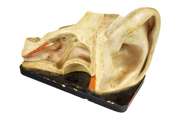 Vintage education model of a human ear