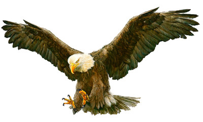 Bald eagle swoop hand draw and paint color on white background vector illustration. Fotoväggar
