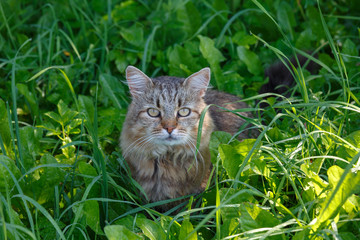 Striped cat sitting in the grass. The cat is curious. The cat looks you in the eye. Portrait of a cat. Smart cat.