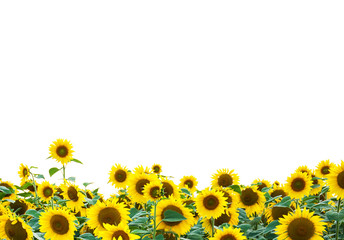 yellow sunflowers isolated over white
