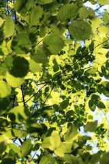 beech-tree-leaves-in-the-sun-from-below-bright.jpg