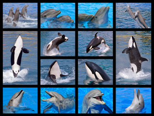 Wall Mural - Fourteen mosaic photos of bottlenose dolphins (Tursiops truncatus) and killer whales (Orcinus orca)