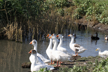 A flock of geese on the banks of the river