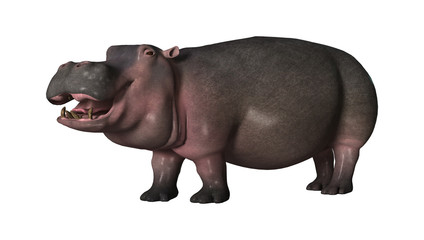 3D Rendering Hippopotamus on White