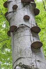 Polypore mushroom on a tree.
