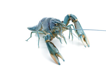 Blue crayfish - Fresh water Lobster on white background