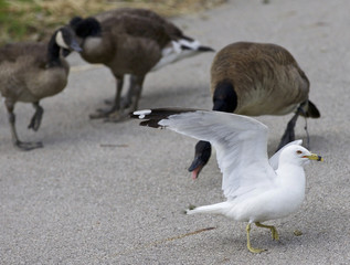 Funny picture of a gull jumping away from the angry Canada geese