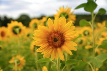 Piękny słonecznik na polu.
