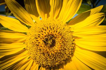 Insekten auf Sonnenblumen