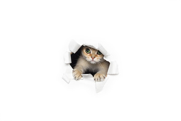 Funny cat peeking out of torn paper isolated on white background