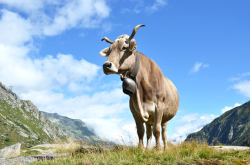 Wall Mural - Swiss cows at Gotthard pass. Switzerland