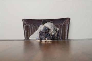 Aluminium Prints Grocery schattige mopshond zit aan houten tafel en eet hondenkoekje