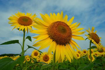 青空に向かって咲くヒマワリの大輪の花 一輪のヒマワリの大輪が青空に向かって咲く様子が鮮やかだ。