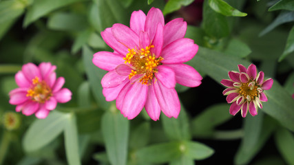 Pink Zinnia Flowers in a Row