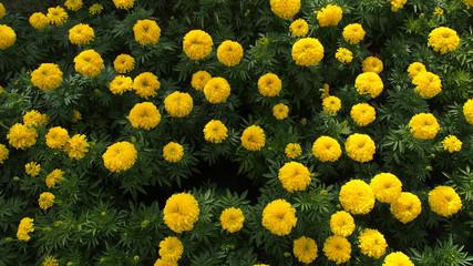 Calendula Flowers Blooming