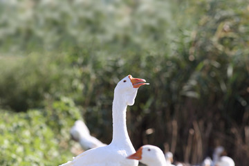 A feather stuck to the beak of a goose .
