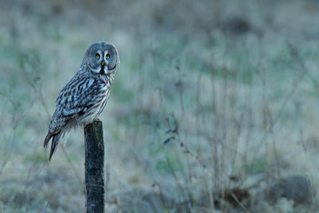 Fototapete - Great grey owl, Strix nebulosa, bird hunting on the maadow. Owl sitting on old tree trunk with grass, portrait with yellow eyes. Animal in the forest nature habitat. Surahammar, Sweden.