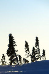 Boreal forest (taiga) on tundra at Wapusk national park, Canada with sunset in winter.