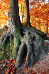 massive tree roots in autumnal forest