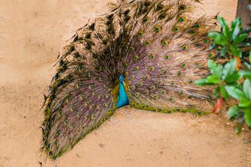 beautiful peacock in my farm