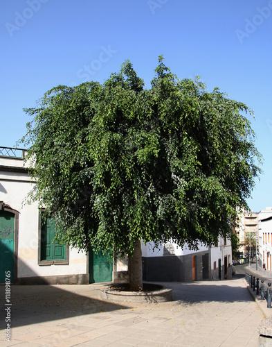 Beautiful ficus benjamina tree in the middle of a plaza - Ficus benjamina precio ...