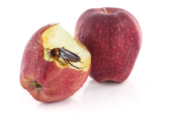 cockroach sitting and eating on a red apple, Image isolated on w