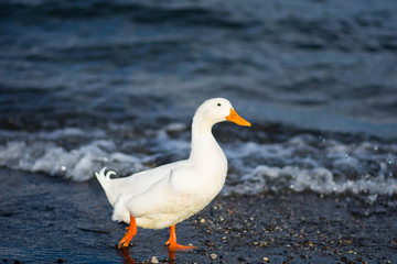 Goose, Bracciano Lake, Rome, Italy