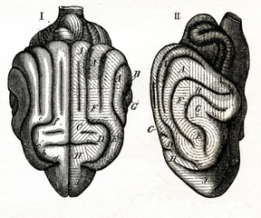 Sensory areas of dog's brain (from Meyers Lexikon, 1895, 7 vol.)