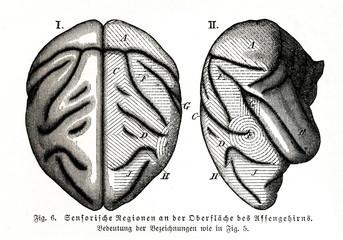Sensory areas of monkey brain (from Meyers Lexikon, 1895, 7 vol.)