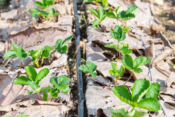 close up Grow up young salad  Rows of Agricultural farming  fiel